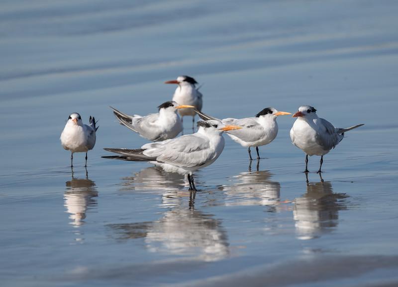 Elegant Tern Royal Tern Oceanside 2020 11 22-1.CR3