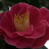 Camellias starting to bloom at the Huntington Library