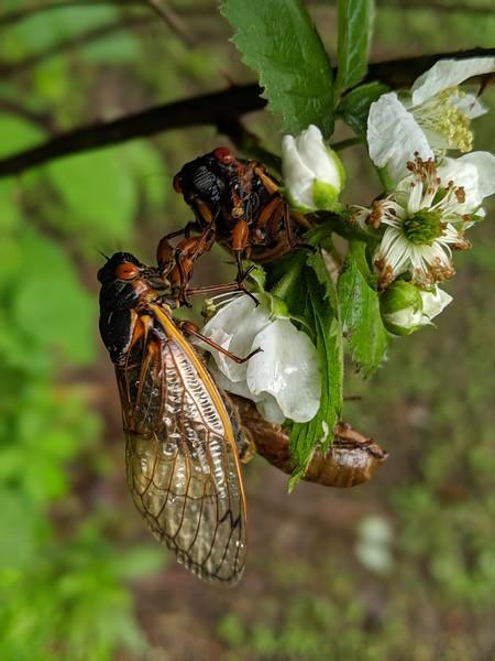 Cicadas at BVNA