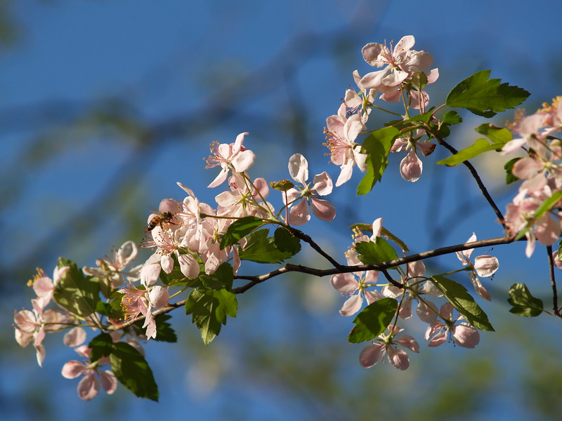 Blooming crab apple or sour cherry at Sheldon Marsh on a sunny, warm evening walk.