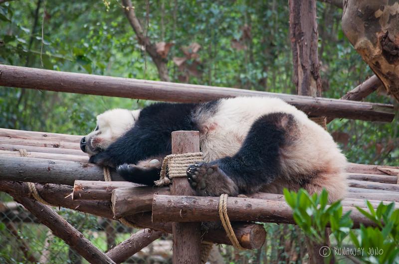 Panda_sleeping_Chengdu_Sichuan_China.jpg