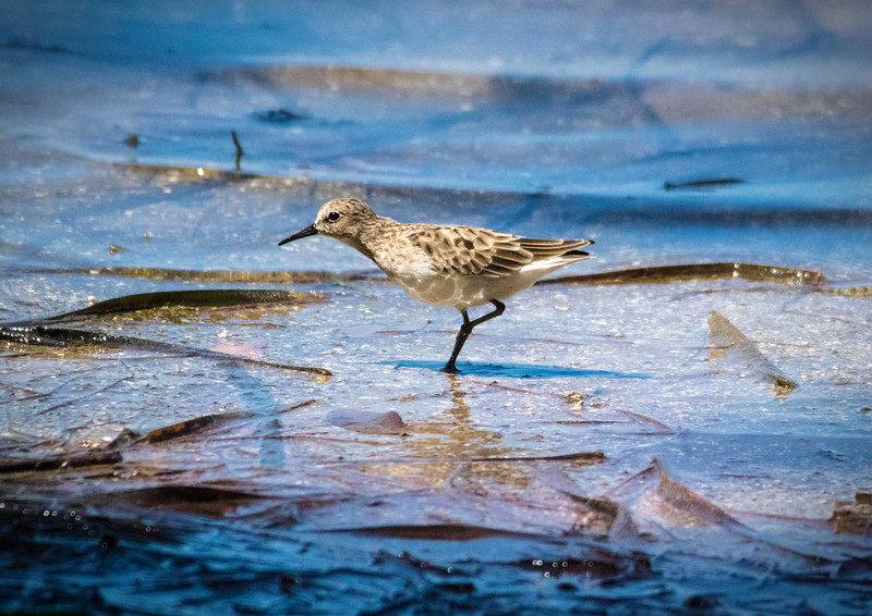 10_29_18 Sanderling at Fort DeSoto.jpg