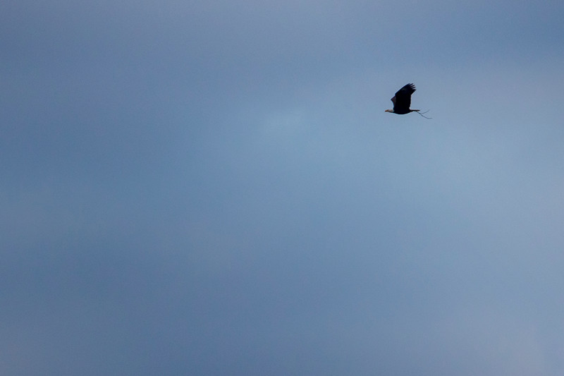 12.29.18 - Bald Eagle