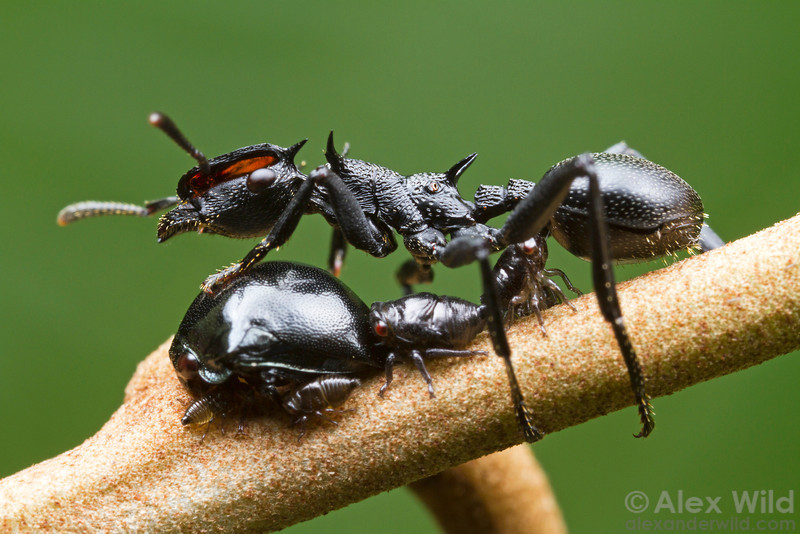 The adult form of this treehopper (bottom left) mimics the abdomen of the Cephalotes atratus ants that tend it for honeydew.