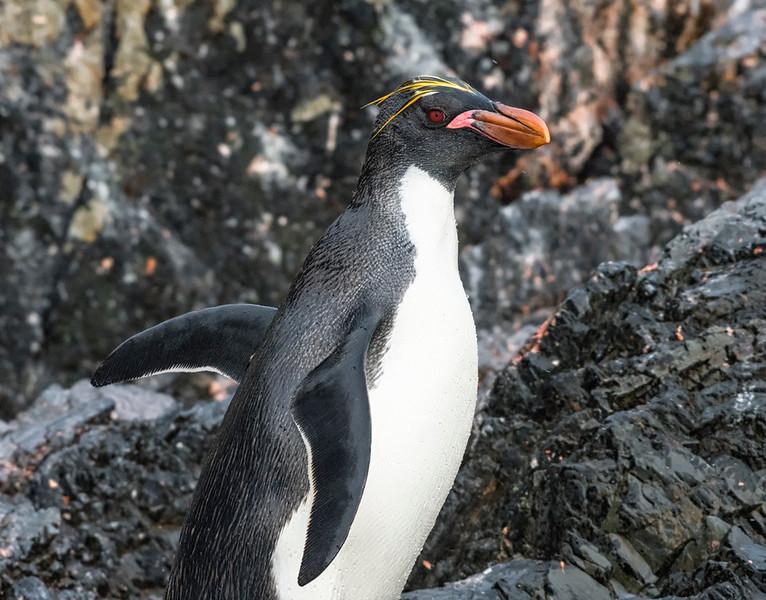 Penguins_Macaroni_Elsehul-12.jpg