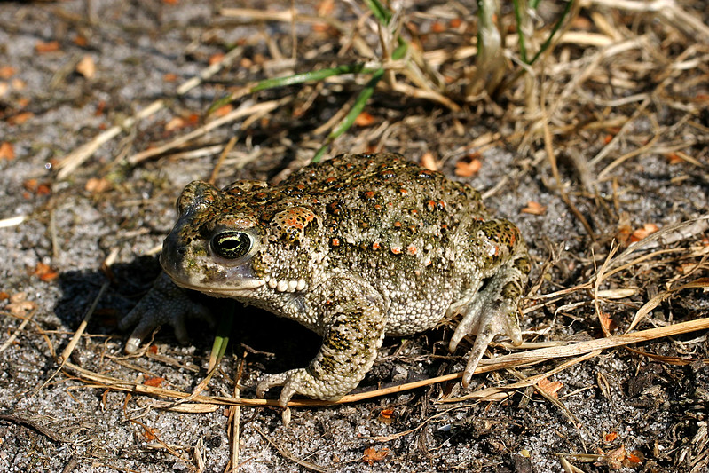 Strandpadda – Epidalea calamita – Natterjack Toad