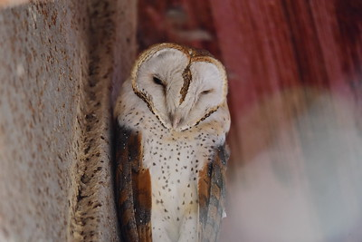 Barn Owls, Schleiereulen - Tatonidae