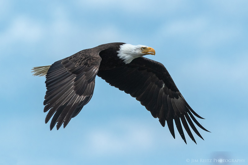 Eagle in flight - Hood Canal near Seabeck, Washington.