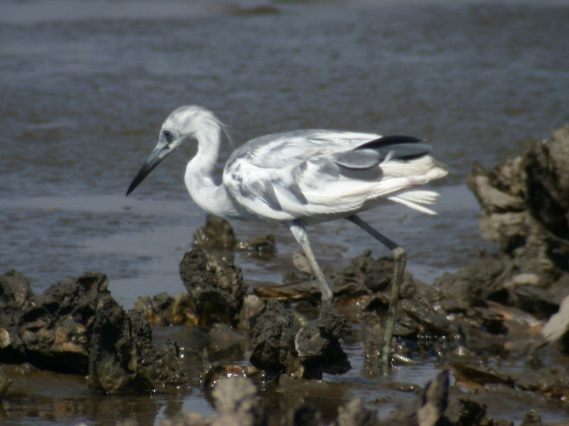 Heron - Little Blue - juvenile - Fernandina Beach, FL