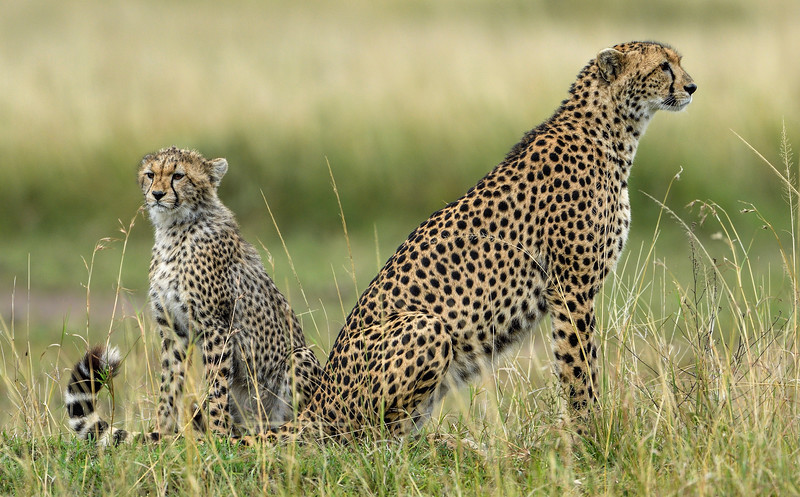 Cheetah-mom-and-cub-masai-mara-2.jpg