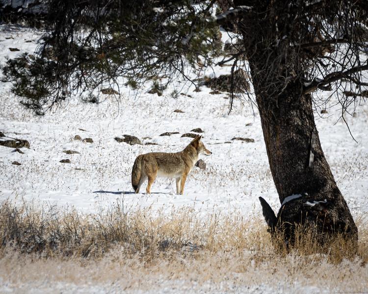 Focused Coyote