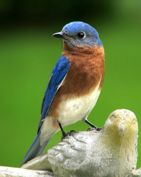 bluebird_9312.jpg