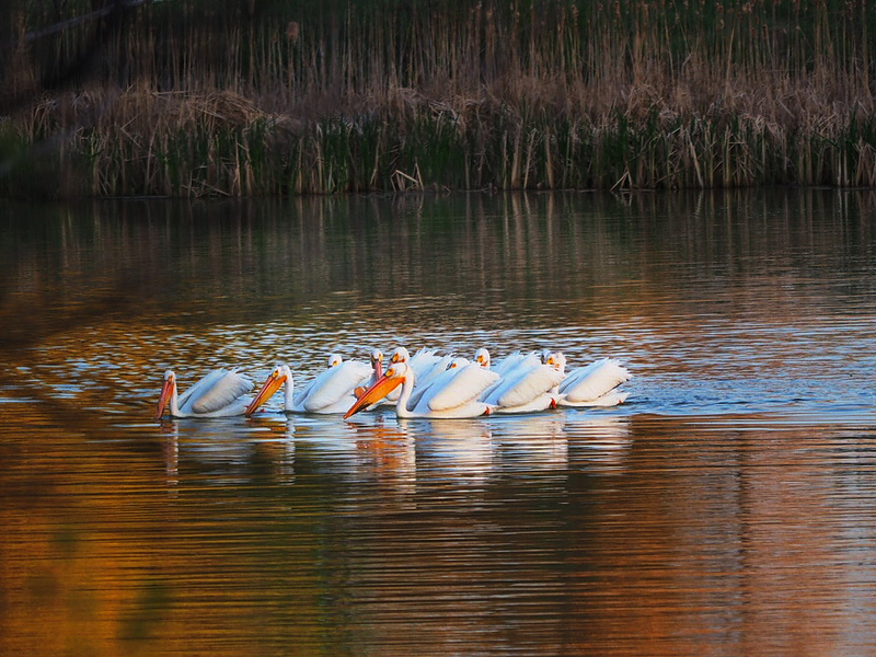 White Pelicans on Anderson Pond