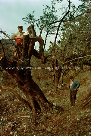 "009_""ajoy4ever"" archival""1978 guardavalle olive harvest"