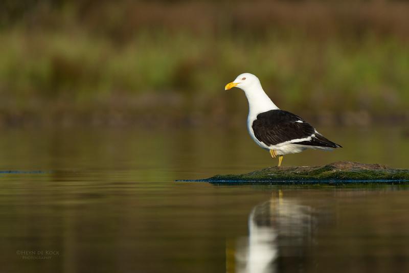 Kelp Gull, Lake Wollumboola, NSW, Nov 2014-1.jpg