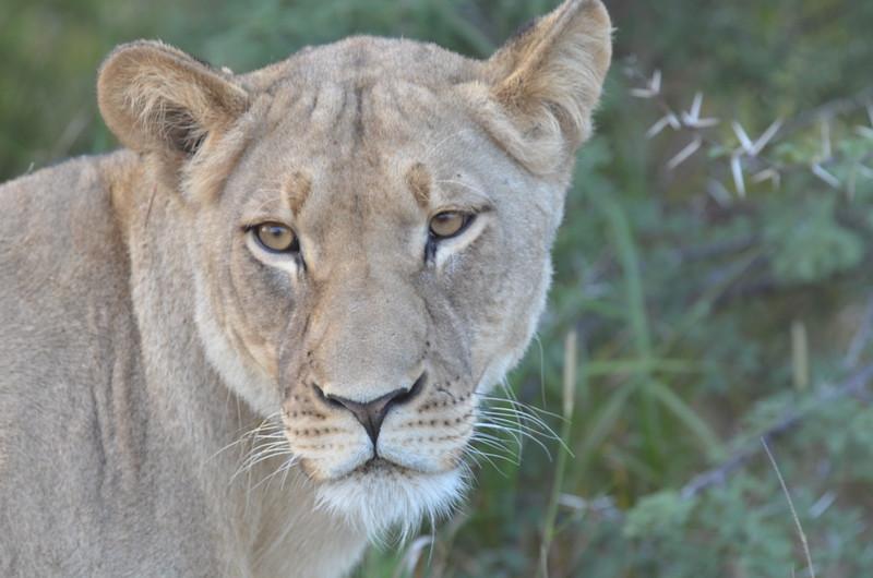 16 - Young Lioness - Kalahari - Anne Davis