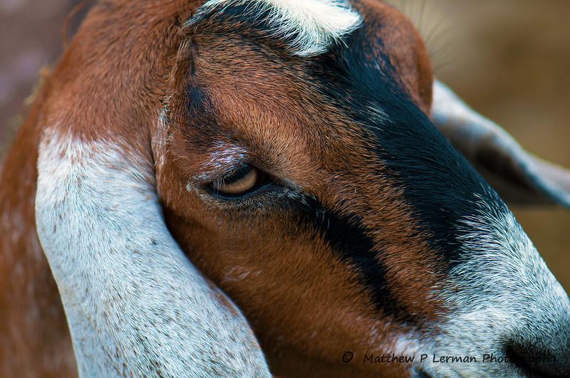 103 Goat 08 21 11_2829.jpg