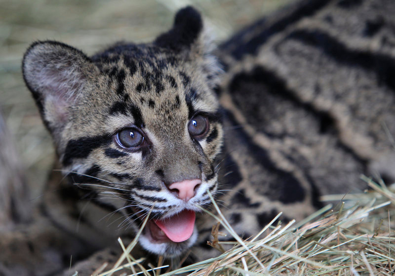 Description of . A rare five-month-old female Clouded Leopard cub is shown during a media preview, Tuesday, Nov. 15, 2011 at Zoo Miami in Miami. The female and a seven-month-old male which both arrived at the zoo Saturday, will be on display after a 30-day quarantine period. The highly endangered leopards are found in forests of Southern China, Taiwan, and Malaysia. (AP Photo/Wilfredo Lee)
