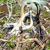 Feeding Time Anhinga Nest