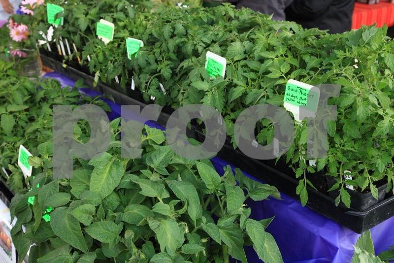 Tomatoe starts 5899.jpg