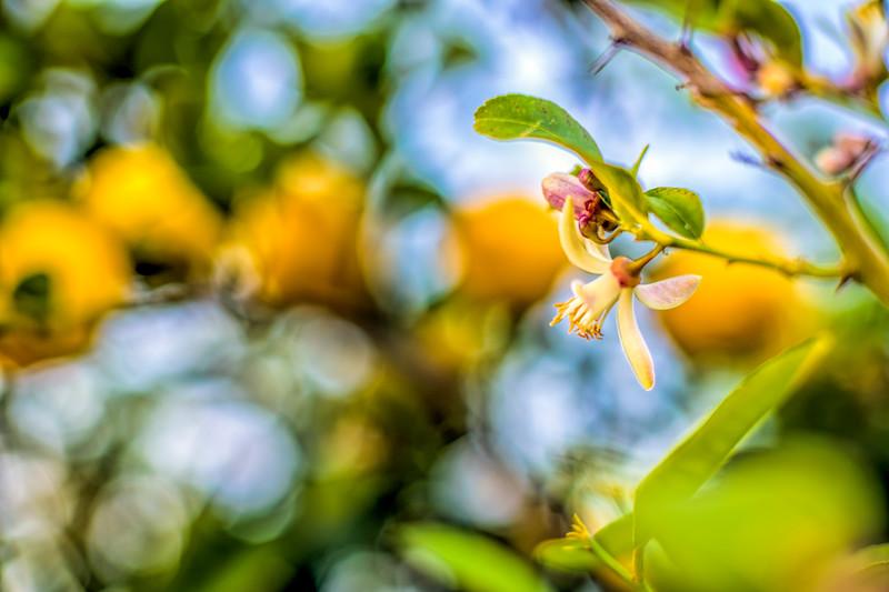 Lemon tree blossom, Seville, Spain