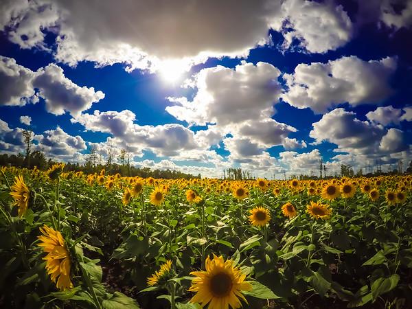 Avon Sunflowers