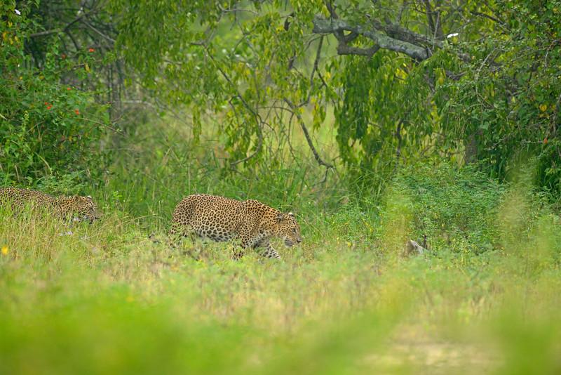 Leopards in a meadow in Sri Lanka