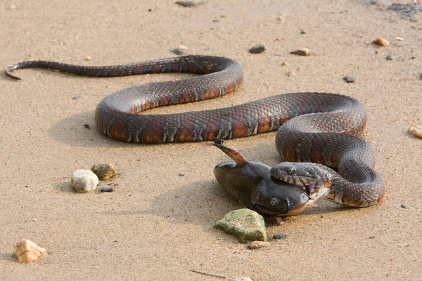 Northern Watersnake Meal