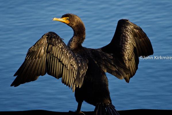 Lake Merritt: Birds