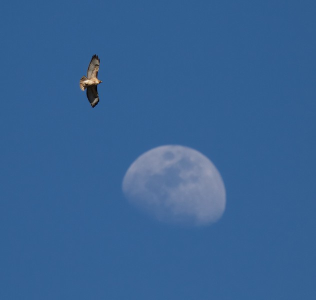 Red-tailed Hawk and moon Yellowstone National Park WY IMG_3979.jpg
