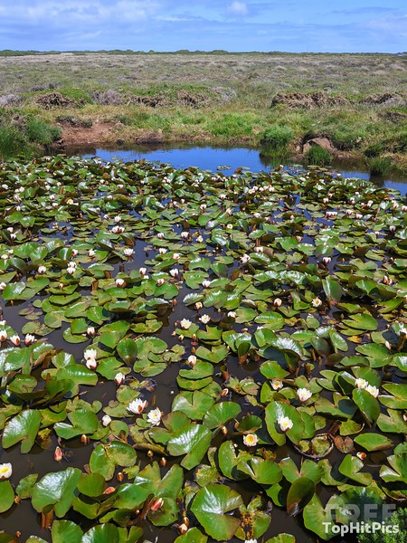 Lilies in a Bog in Cornwall, England