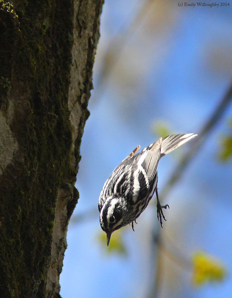 Black-and-white warbler leap