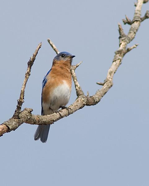 Eastern Bluebird  Highbanks Metro Park, Columbus, OH