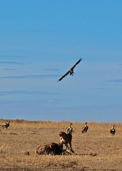 Kampen for å overleve. Gribber venter på at gepardene skal bli ferdige med måltidet. Masai Mara, oktober 2006. *** The battle for survival. Vultures waiting in line for the Cheetas to finish their meal. Masai Mara, October 2006. (Foto: Geir)