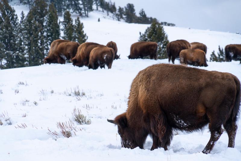 _AR70692 Bison herd.jpg
