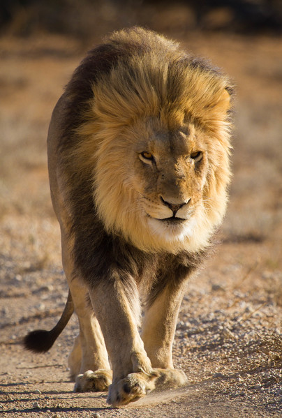 Male lion on road, Kalahari Desert