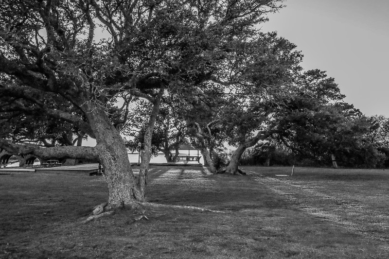 Historic Corolla Park Tree