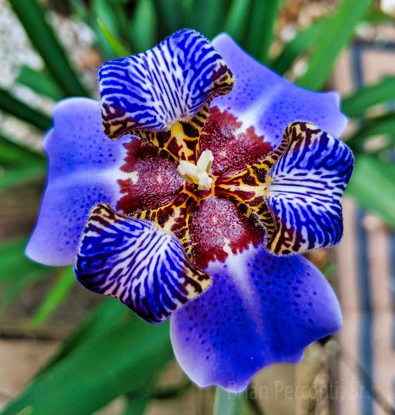 Apostles Iris.jpg