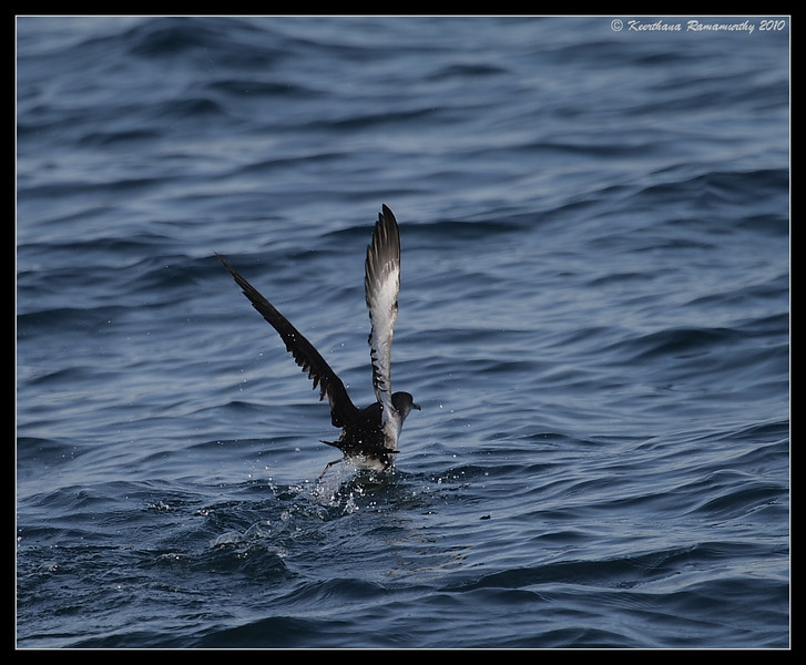 Black-vented Shearwater taking off after a heavy lunch, Oceanside Pelagic Trip, San Diego County, California, January 2010
