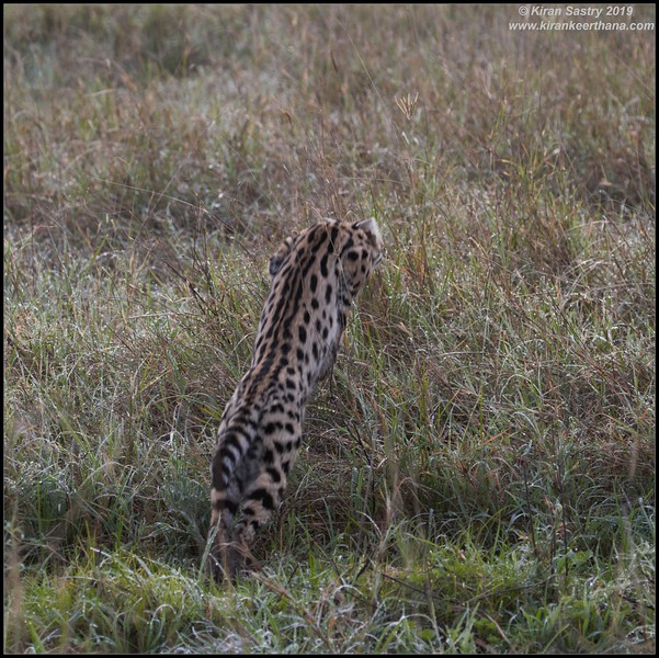 Serval cat hunting, Ngorongoro Crater, Ngorongoro Conservation Area, Tanzania, November 2019