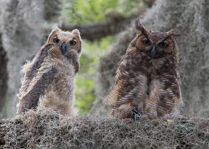 Great Horned Owls on Nest