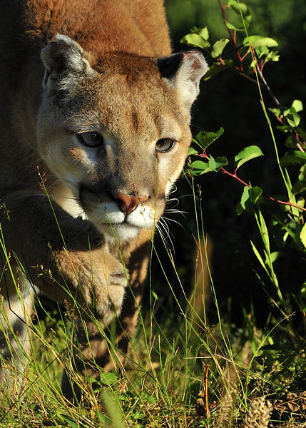 Mountain Lion and Siberian Lynx