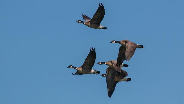 STA Birds 1 - Ducks, Quail, Grebes & Doves