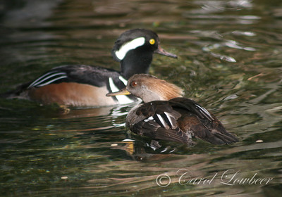 Merganser Mating