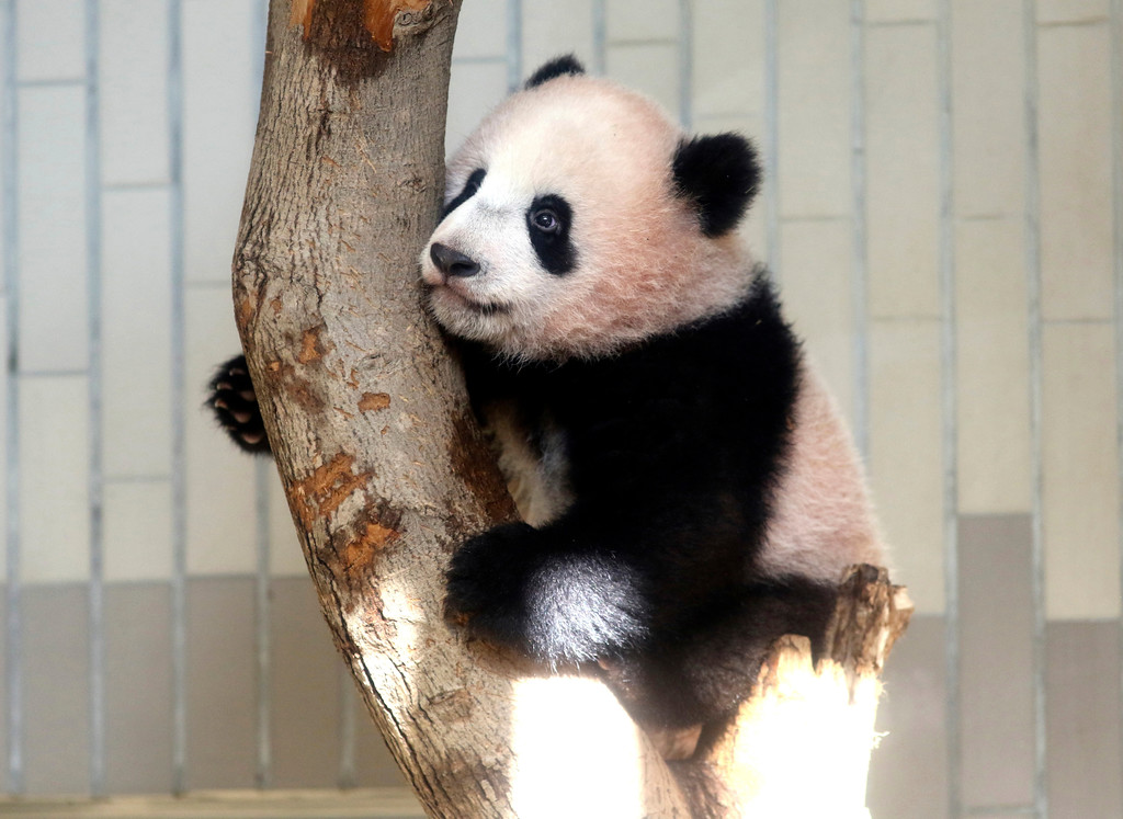 . In this Monday, Dec. 18, 2017, photo, female giant panda cub Xiang Xiang climbs a tree during a press preview at the Ueno Zoological gardens in Tokyo. Xiang Xiang, which means fragrance in Chinese, was born in June at Tokyo�s Ueno Zoo to its resident panda. It�s a first one in 39 years to have been born in Ueno, known as a panda town. The zoo and its neighborhood celebrated Xiang Xiang�s healthy growth especially after the death of a days-old baby panda five years ago. (Yoshikazu Tsuno/Pool Photo via AP)