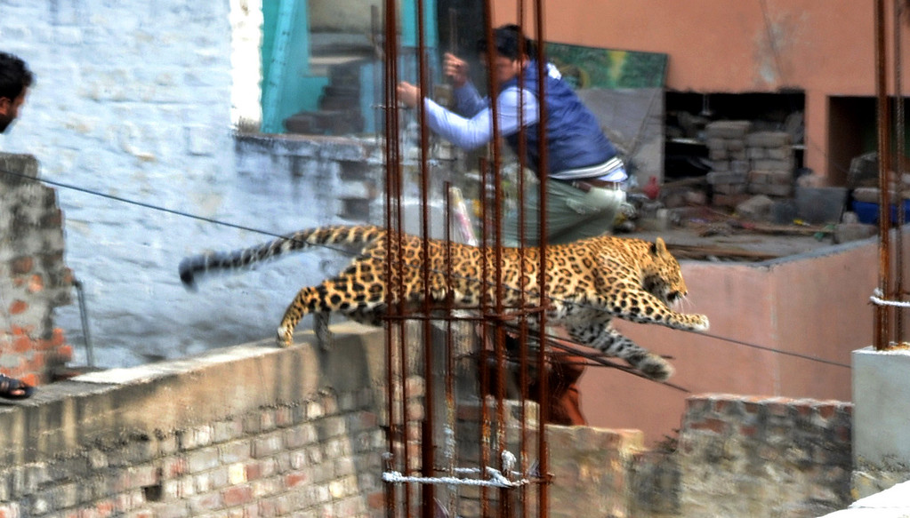 . A leopard leaps across an under-construction structure near a furniture market in the Degumpur residential area as a bystander moves out of the way in Meerut on February 23, 2014.  A leopard sparked panic in a north Indian city when it strayed inside a hospital, a cinema and an apartment block before evading captors, an official said.  AFP PHOTOSTR/AFP/Getty Images