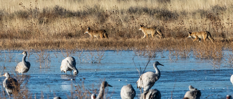 Three Mearns' coyotes (Canis latrans mearnsi) on the early morning prowl at the Bosque del Apache National Wildlife Refuge, San Antonio, New Mexico. A flock of Greater sandhill cranes (Antigone canadensis) is in the foreground.  The Mearns' coyote is one of 17 coyote subspecies and is found in Nevada, Arizona, southern Utah, deserts of southeastern California, west of Rio Grande in New Mexico, and extreme southwestern Colorado.  The coyote is listed as 'Least Concern' by the International Union for Conservation of Nature due to its wide distribution and abundance throughout North America, southwards through Mexico, and into Central America.
