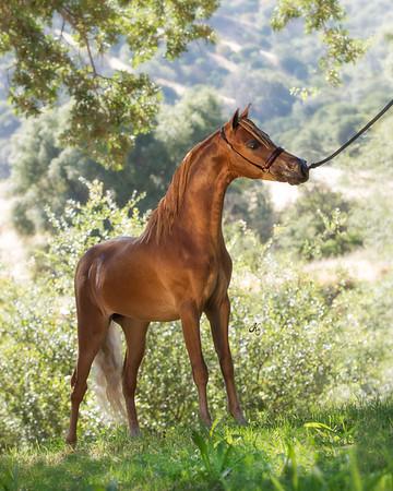 Jamison AN (2016 National Grand Champion Stallion)