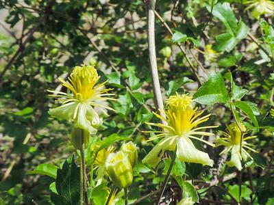 Ropevine Clematis (Clematis pauciflora)