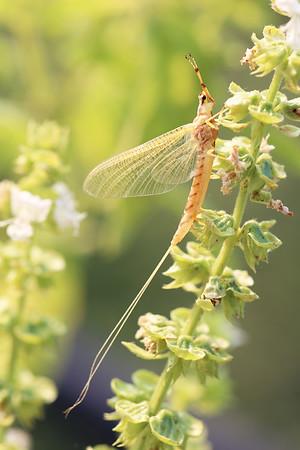 Mayflies (Ephemeroptera)